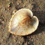 Раковина в форме сердца