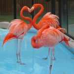 Фламинго. Сердце