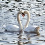 Лебеди. Сердце